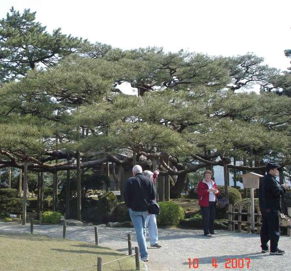 Ancient Karasaki Pine with strong poles to support branches in winter snowfall