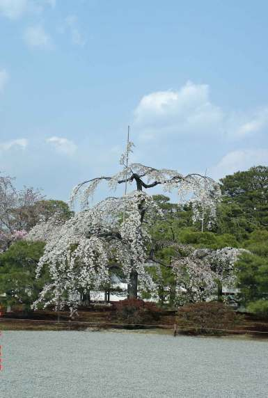 Kyoto Palace-waterfall of cascading cherry blossoms