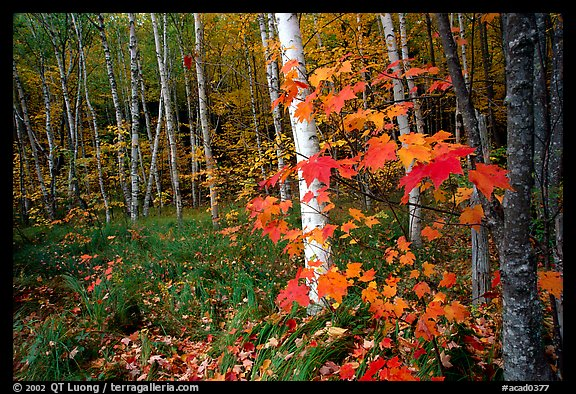 Autumn forest scene with white birch and red maples. Acadia National Park (color)