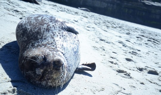 Making Seal Friends in La Jolla || terragoes.com