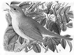 [nightingale]