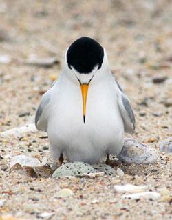 Least Tern. Photo by Tom Grey.