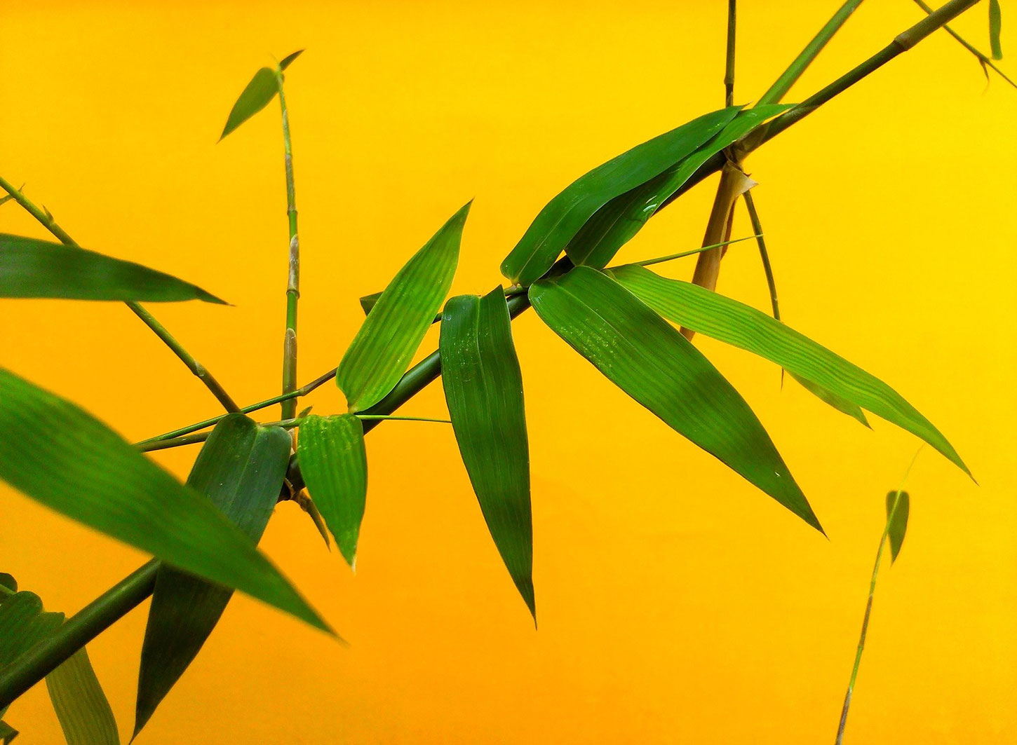 Bamboo on yellow background