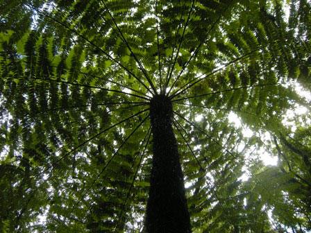 Silver tree fern.