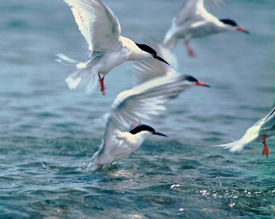 Roseate and common terns.