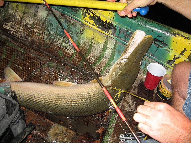 27-pound alligator gar