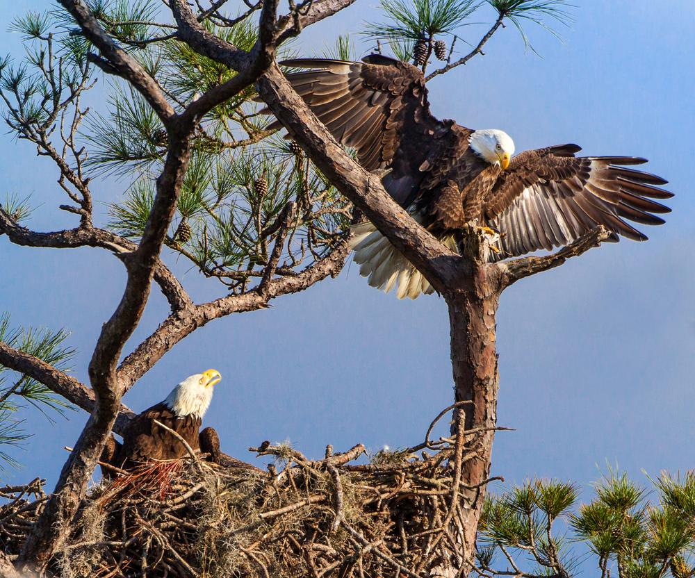 Bald eagles on nest