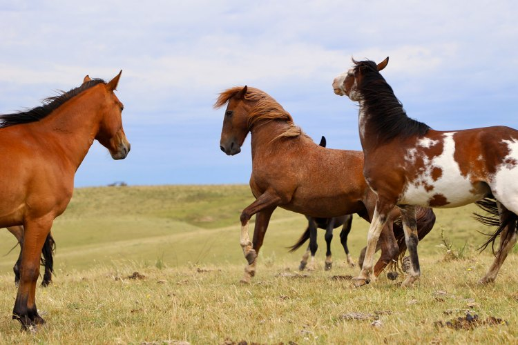 Horses playing on pasture