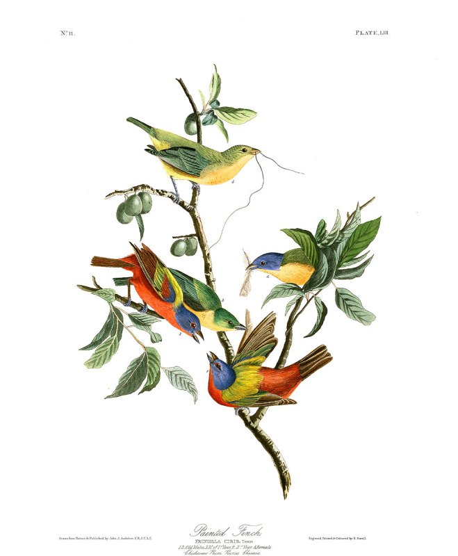 """Painted Finch"" by John James Audubon"