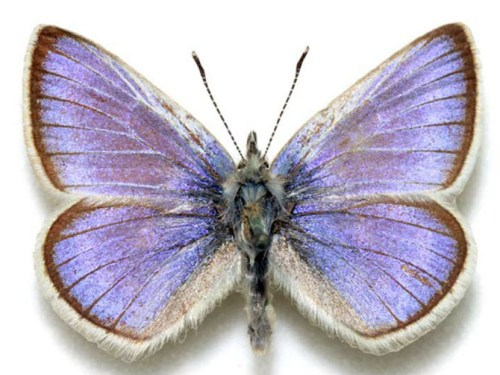 The extinct Xerces Blue butterfly, the namesake and idea behind the Xerces Society