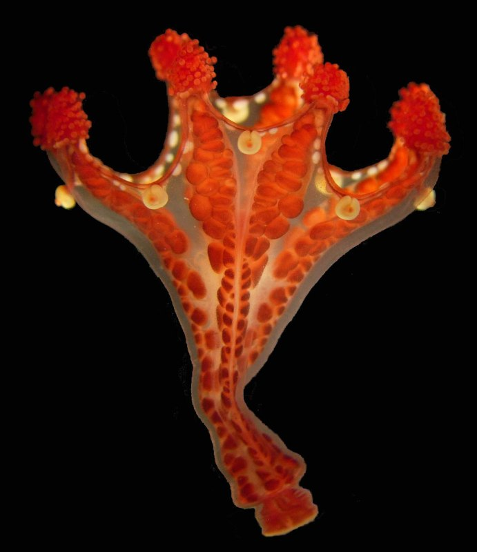 A Staurozoa: Haliclystus californiensis. Photo by Allen Collins.
