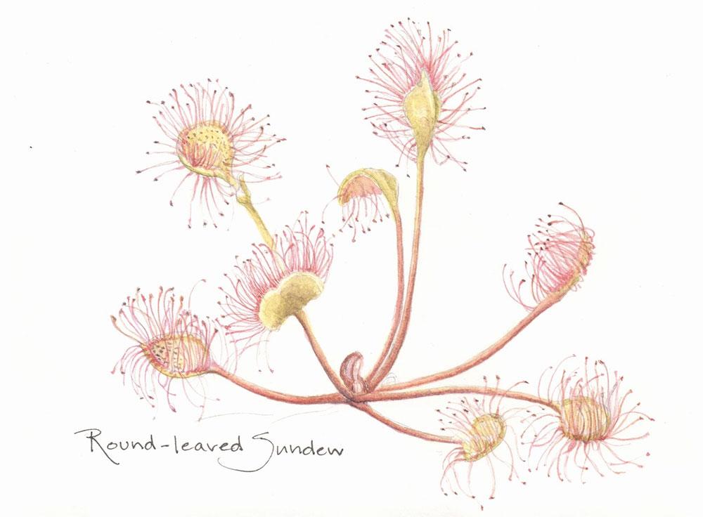 Illustration of sundew