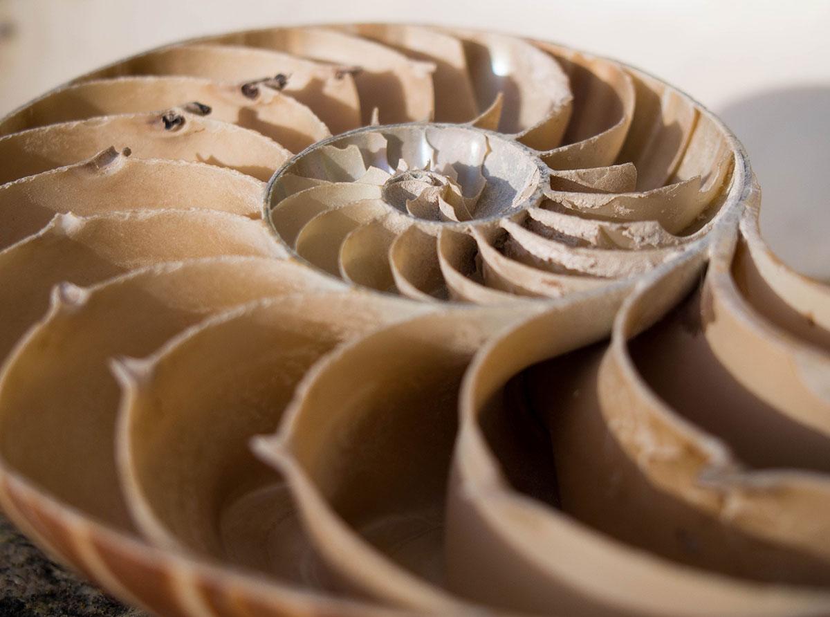 Half a nautilus shell. Photo by Julian Hoffman.