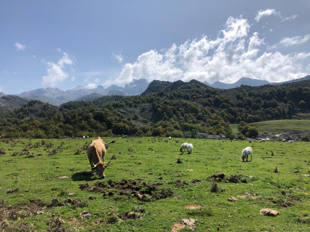 Cows on a field in Asturias. Photo by Paulina Jenney.