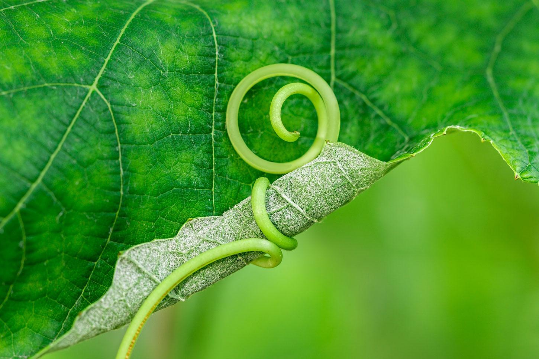 Vine tendril on leaf