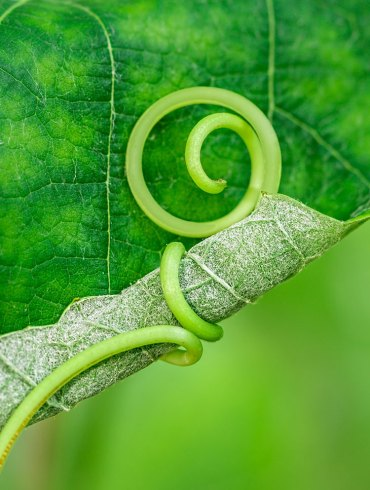Vine tendril on leaf