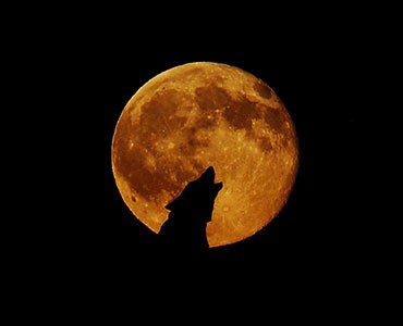 Wolf howling and full moon