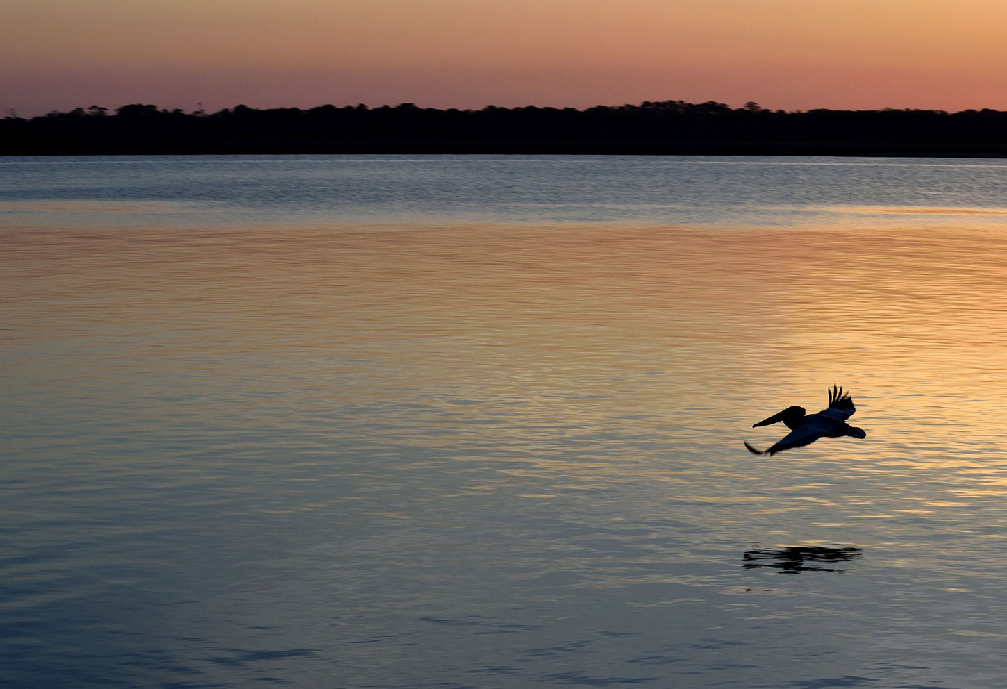 Pelican over water at dusk