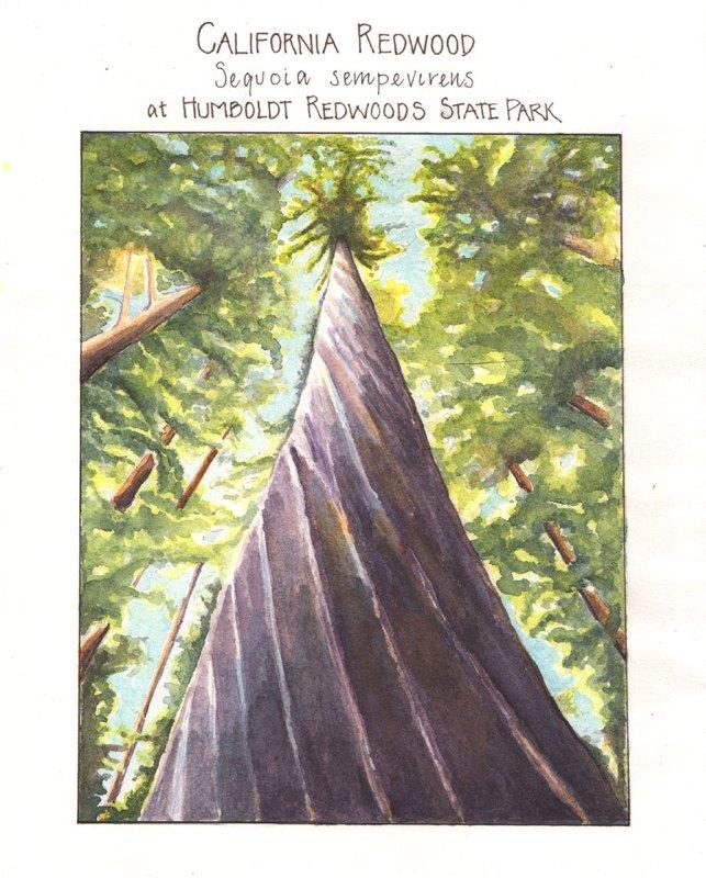 California redwood, by Lyn Baldwin