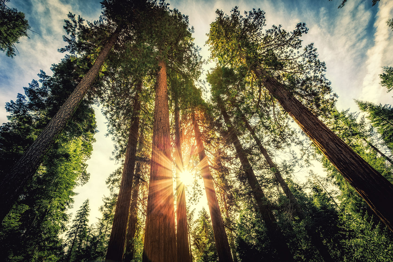 Sun shining through California redwoods