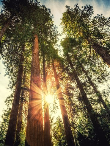 Sun shining through California redwoods