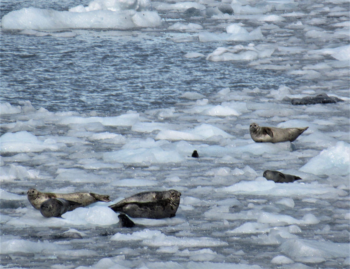 Seals in front of Barry Glacier
