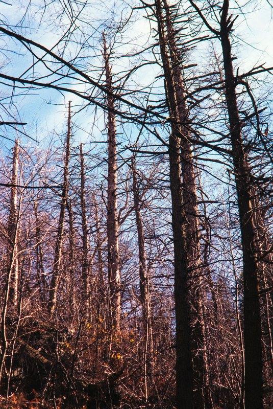 Dead hemlock trees