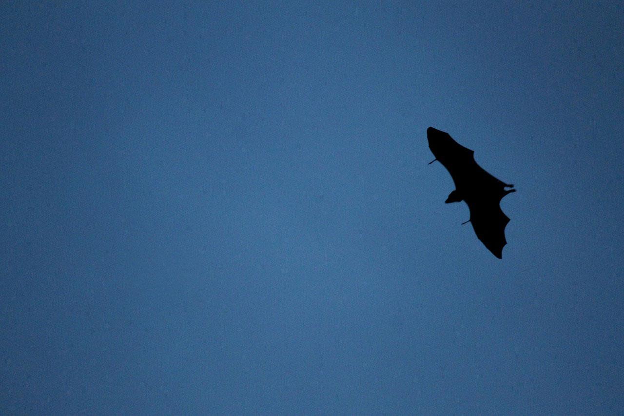 Bat flying at dusk