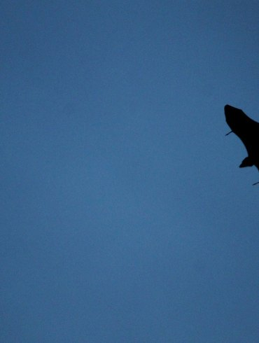 Bat flying at dusk