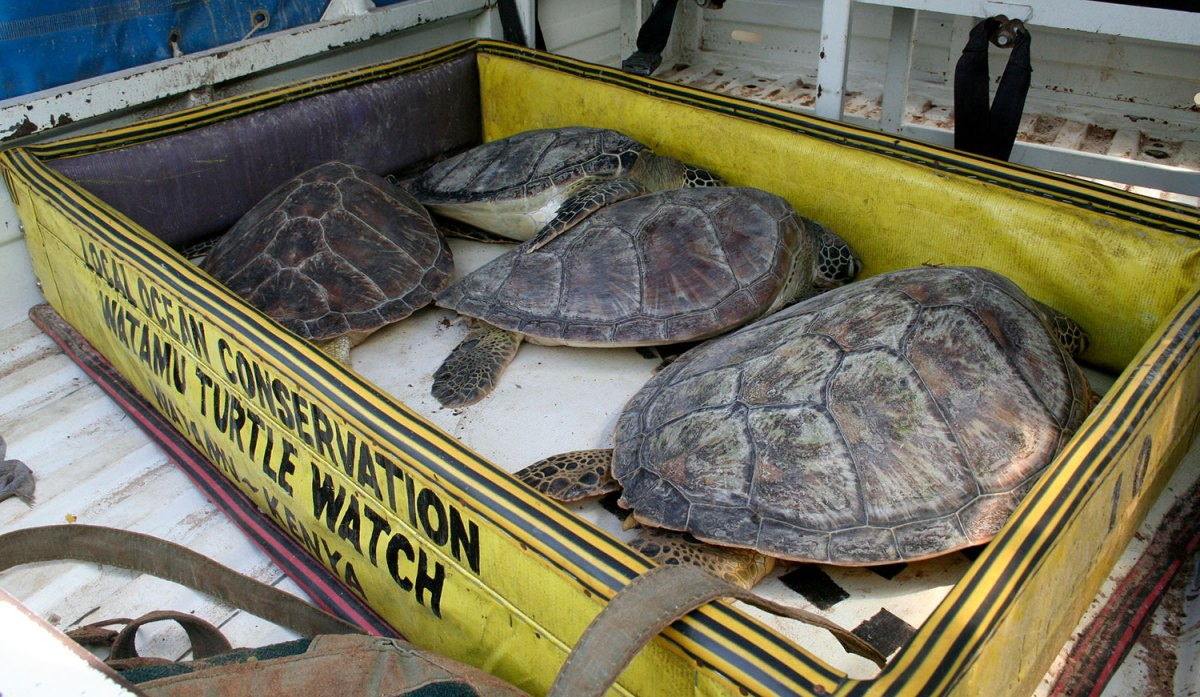 Sea turtles in holding pen. Photo by Amy Yee.