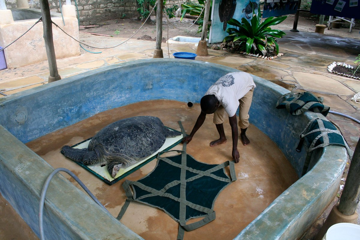 Injured sea turtle in tank with helper.  Photo by Amy Yee.