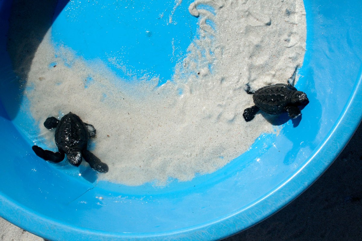 Sea turtle hatchlings. Photo by Amy Yee.