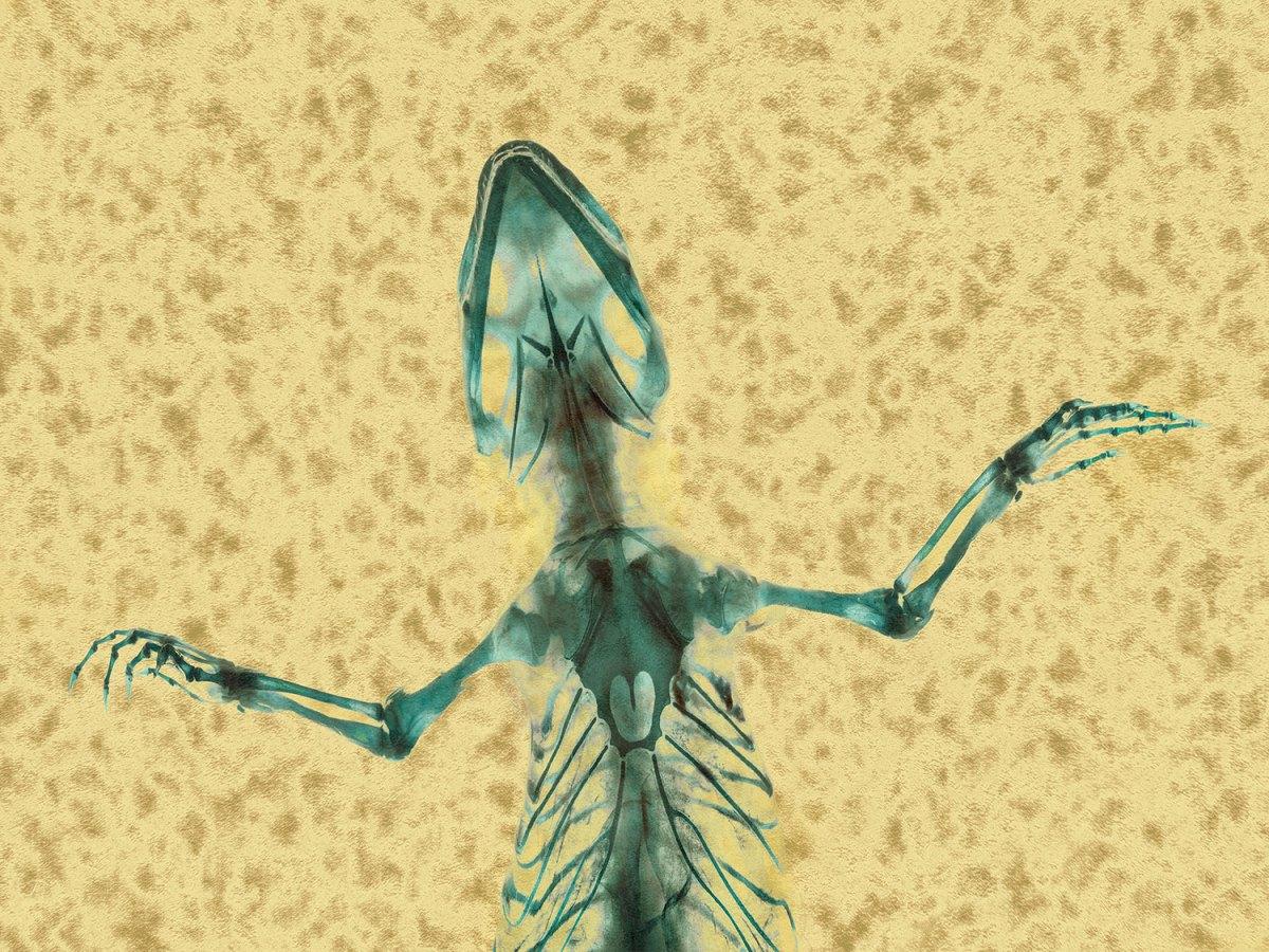 Fringe-toed Sand Lizard