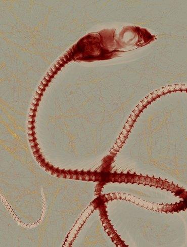Photograph of red-sided garter snake by Stephen Petegorsky