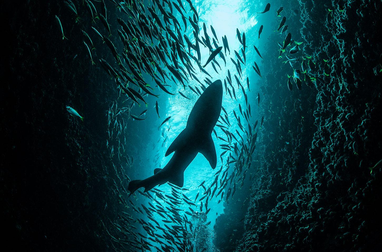 Shark in a school of fish