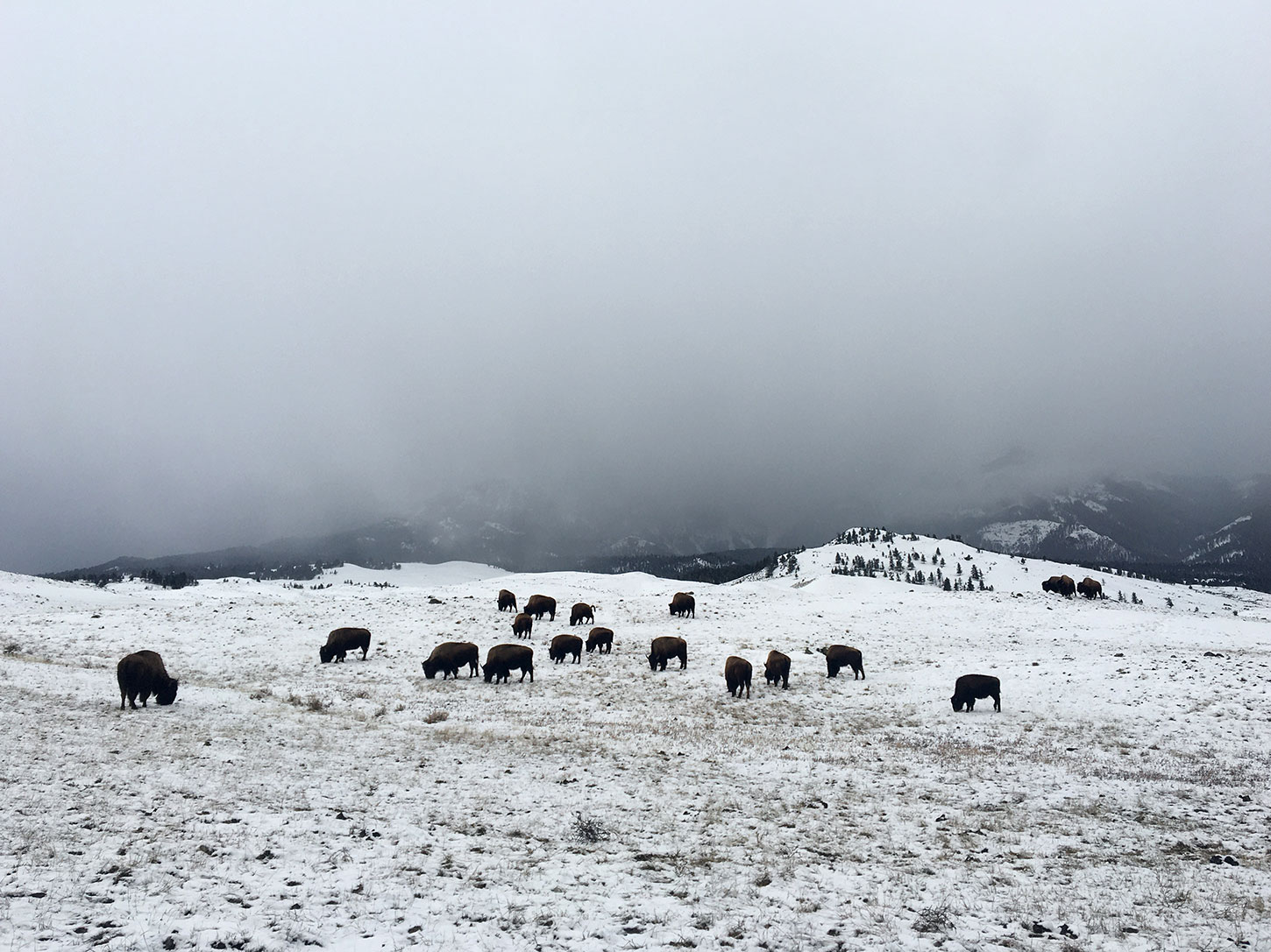 Winter bison at Yellowstone National Park