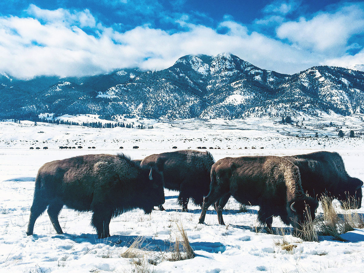 Bison in Yellowstone National Park, winter. Photo by Corrie Williamson.