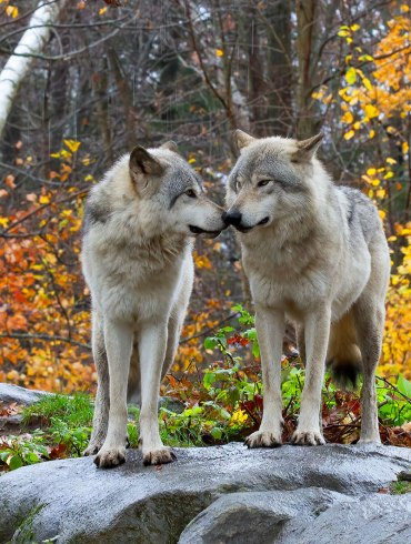 Two wolves on rock in autumn