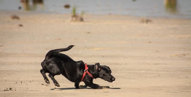 Perro negro jugando en la playa de Cesantes y Chapela (Redondela)