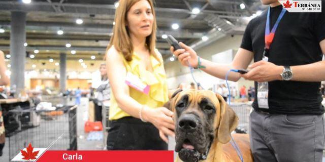 Carla, aficionada a la raza Gran Danés.