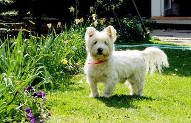 Un perro de raza West Highland White Terrier en un jardín.