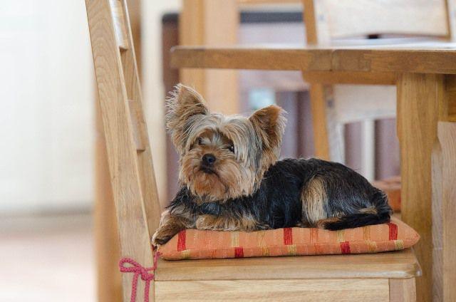 Un Yorkshire Terrier sentado en una silla.
