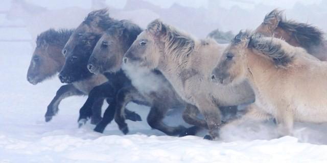 Caballos Yakutos (Foto: Maria Vasilyeva).