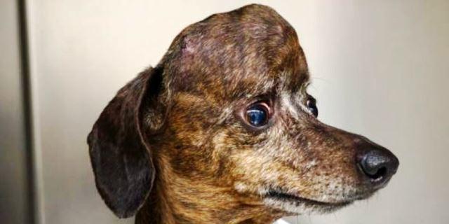 Patches, el perro que ha sobrevivido a un tumor cerebral (Foto: Michelle Oblak).