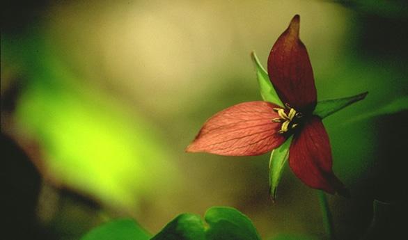 Trillium wildflower
