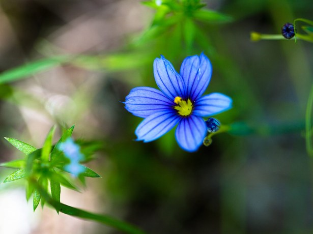 Blue-eyed-Grass-(Sisyrinchium-bellum)