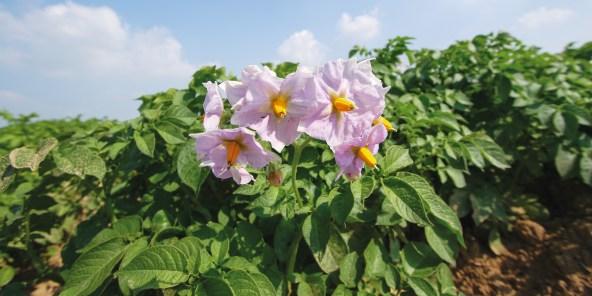 La fleur de Ratte du Touquet © Pomme de terre Ratte du Touquet