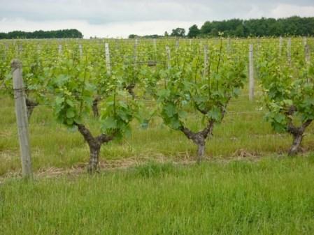 Domaine Chapinière vignes enherbées