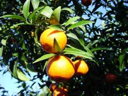 3. Grappe de clementine de corse