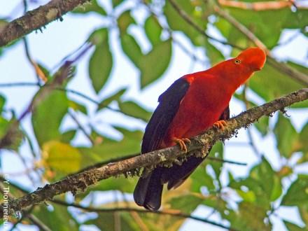 Coq de roche Andes Parc des oiseaux @Y Thonnerieux - Terroir Evasion